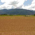小麦の収穫の時期